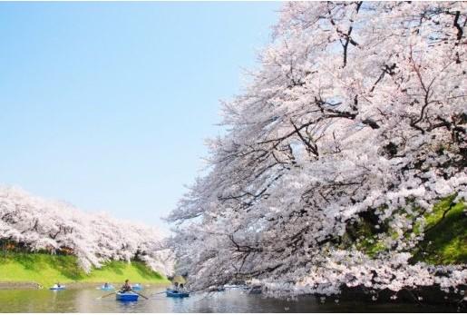 千鳥ヶ淵の桜 ちよださくら祭り無料さくらツアー&桜さんぽはいかがですか?