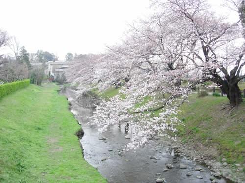 東京のお花見立川根川緑道・美しい小川の遊歩道と多摩川の岸辺、湧き水の緑地